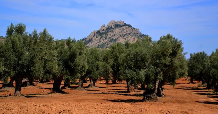 Passejant entre oliveres